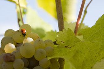 vigne-vin-visite-dégustation-vignoble-oenologie-Vouvray-Touraine-Vallee-Loire-Rendez-Vous-dans-les-Vignes-Myriam-Fouasse-Robert