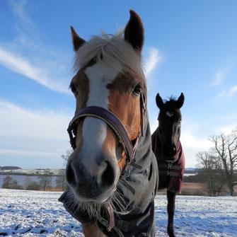 Pferde mit Winterdecken