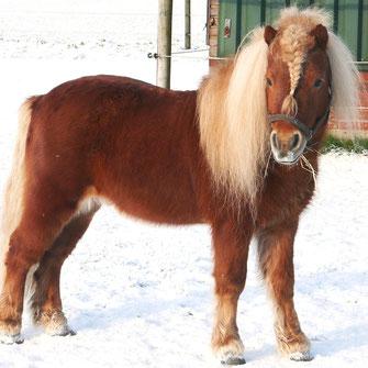 Pony mit dichtem Winterfell