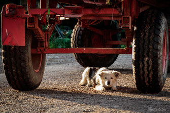 Hund unter Anhänger