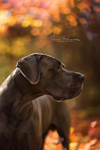Deutsche Dogge - Danees Photography - Pferdefotografie und Hundefotografie in Bayern Würzburg Schweinfurt Werneck Kitzingen