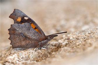 Schnauzenfalter - Libytheinae