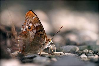 Schillerfalter - Apaturinae