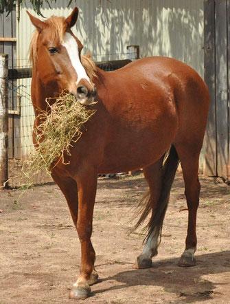 Pferd frisst Heu auf dem Stallvorplatz.