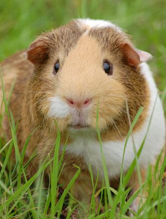 Dicker Hamster auf der grünen Wiese.