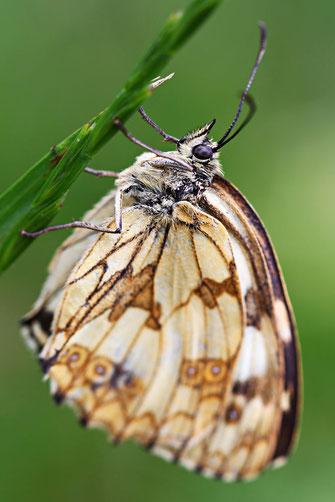 papillon - rando Pyrénées Audoises