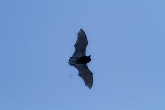 Fliegende Zwergfledermaus