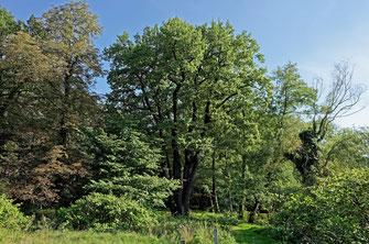 Eiche in Neuhausen