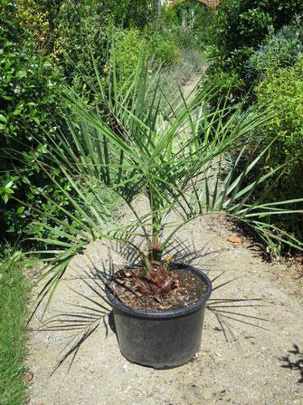 Jungpflanze von Butia eriospatha (Wollige Geleepalme)