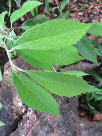 Quercus lanata (Wollblättrige Himalaya-Eiche), Schaffhausen