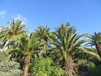 Phoenix canariensis (Kanarische Dattelpalme) im Botanischen Garten Barcelona