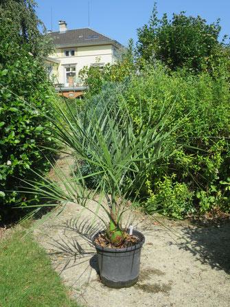 Butia paraguayensis (Zwerg-Yatay-Palme), Herkunft: Dick Douglas Garden