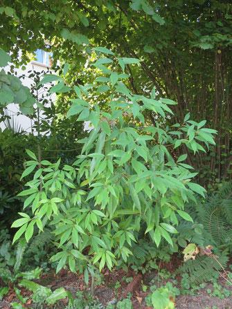 Quercus myrsinifolia (Japanische Myrten-Eiche)