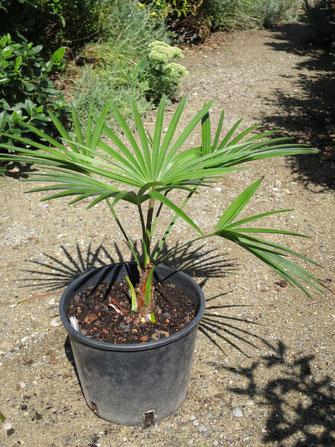 Trachycarpus princeps (new form)
