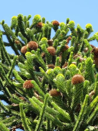 Zapfen von Araucaria araucana (Chilenische Schmucktannne, Andentanne, Araukarie)