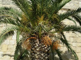Phoenix dactylifera (Echte Dattelpalme) in Jerusalem