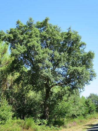 Quercus suber (Korkeiche) im nördlichsten natürlichen Verbreitungsgebiet im Département Les Landes in Südwestfrankreich