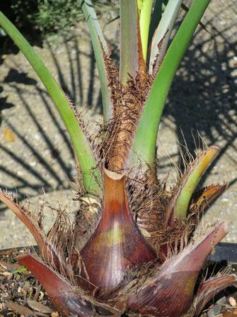 Butia eriospatha (Wollige Geleepalme), rötlich gefärbte Blattbasen
