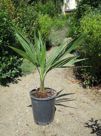Jungpflanze von Butia eriospatha x odorata