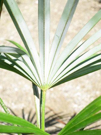 Weiss bereifte Blattunterseite von Trachycarpus princeps (new form)