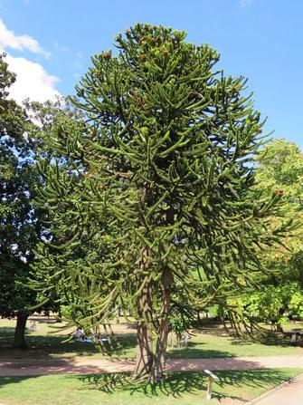 Araucaria araucana (Chilenische Schmucktannne, Andentanne, Araukarie) im Botanischen Garten von Lyon