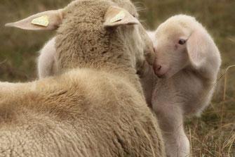 Mérinos, laine douce.