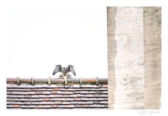 Faucon pèlerin de Dole
