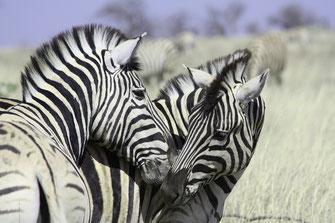 Zebra Namibia Mietwagenreise