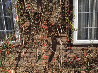 ヒヨドリジョウゴ 赤い実