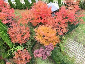 ヤマボウシ 紅葉