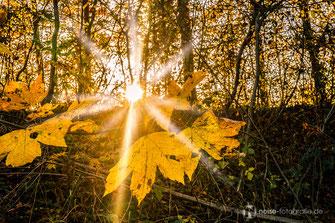 Herbstlaub im Gegenlicht auf dem Krahnberg bei Gotha
