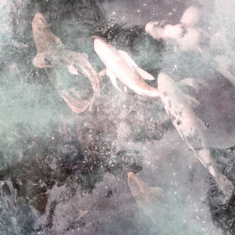 Bild von KOI Fischen auf Alu Butler Finish Gold Platte gedruckt