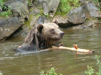 fiche animaux ours brun contre ours noir