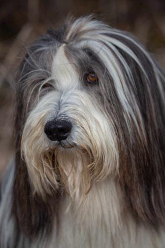 Welsie Bearded Collie Rifenmatt
