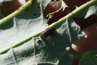 ダイコンサルハムシの幼虫