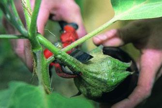 Sécateur coupant une aubergine