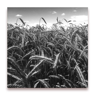 Fields of Barley (Bild #052)