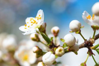 6 Cherry Plum