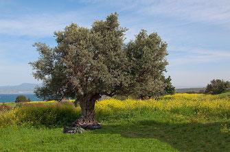 Johannisbrotbaum (Ceratonia siliqua), Foto: tns 2710 - stock.adobe.com