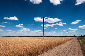 Weizenfeld unter dem blauen Himmel als Wandposter online kaufen