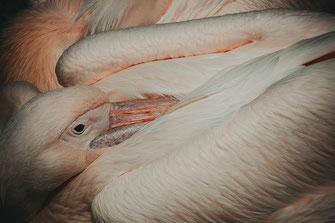 Rosa Pelikan gönnt sich ein Nickerchen als Wandposter online kaufen oder kostenlos lizenzfrei herunterladen