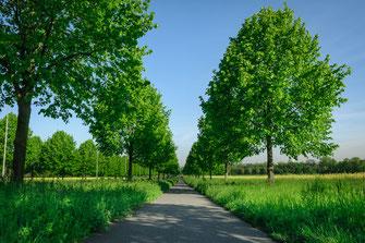Stille sommerliche Lindenbaum Allee als Wandposter online kaufen oder kostenlos lizenzfrei herunterladen