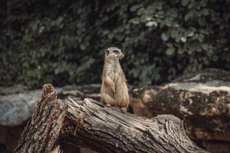 Erdmännchen oder Manguste hält Ausschau nach den Räubern Afrika Tierwelt Tierfotografie Tiere Nagetiere Wirbeltiere Säugetiere Fauna Tieraufnahmen Poster