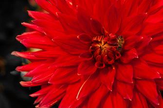 Fleißige Biene auf einer roten Dahlie als Wandposter online kaufen oder kostenlos lizenzfrei herunterladen