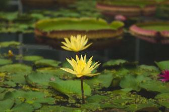 Zwei blühende gelbe Teichrosen Wasserrose Wasserpflanze