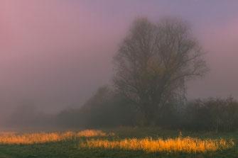 Einsamer Baum und Schilf-Teppich im Nebel als Wandposter kaufen