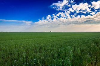 Blühendes Leinfeld unter blauem Himmel als Wandposter online kaufen oder kostenlos lizenzfrei herunterladen