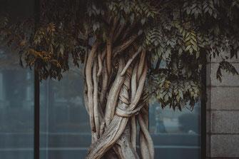 Verwickelter und verdrehter Baumstamm in seiner natürlichen Form gewachsen um den Pfeiler herum Natur Flora Naturfotografie Baum Bäume Natürlich Hintergrund Efeu Wandbild Poster