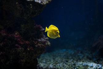 Zierfisch Gelber Segeldoktor aus dem Pazifischen Ozean