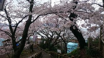 桜の見どころ